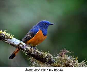 Male of Blue-fronted redstart (Phoenicurus frontalis) the beautiful blue bird with orange belly sitting on the mossy stick