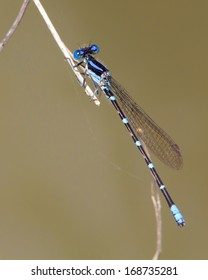 Male Blue-ringed Dancer Damselfly (Argia sedula) perched on woody vegetation in a wetland near Uvalde (Uvalde County) in south Texas.
