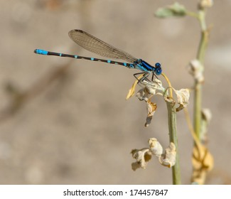 Male Blue-ringed Dancer damselfly (Argia sedula) perched on vegetation on a wetland in Uvalde County in south Texas.