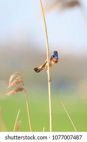 Male blue-throat bird (Luscinia svecica cyanecula) singing to attract a female during breeding season in Springtime