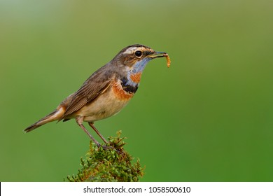 Male of Bluethroat (Luscinia svecica), lovely brown bird carrying worm meal in his beaks while standing over mossy spot