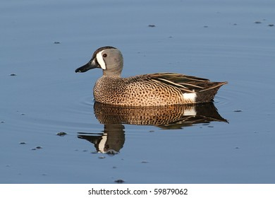 Male Blue-winged Teal (anas discors) swimming in the Florida Everglades