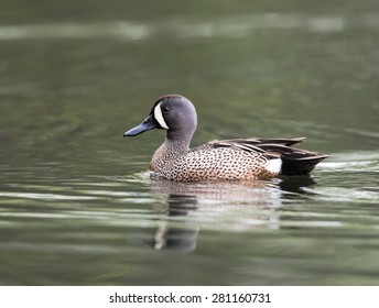 Male Blue-winged Teal Swimming in Fall
