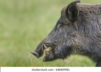 Male boar showing large tusks, copy space on the left