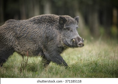 Male boar strutting his stuff in fall