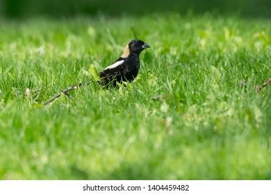 Male Bobolink foraging in the short grass. Ashbridges Bay Parh, Toronto, Ontario, Canada.