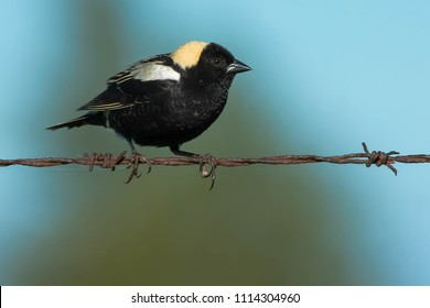 Male Bobolink perched on a barbed wire fence. Kawartha Lakes, Ontario, Canada.