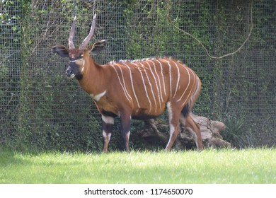 Male bongo antelope, striped with long horns