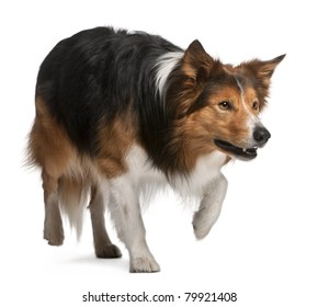 Male Border Collie, 3 years old, standing in front of white background