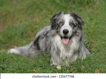 Male border collie dog