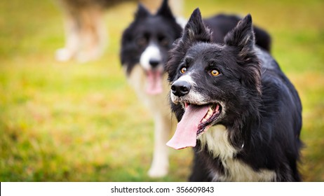Male Border Collie dog looking up to his owner. Image with a copy space