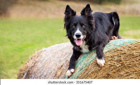 Male Border Collie dog on haystack. Photograph with space for your text on left side