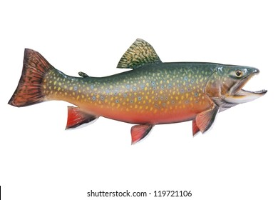 A male brook or speckled trout in spawning colors isolated on a white background