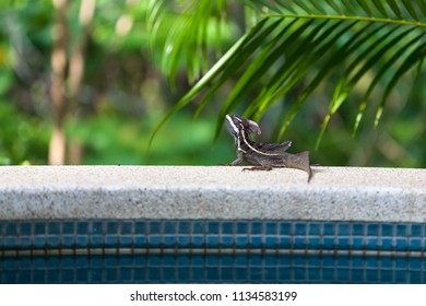 Male brown Basilisk lizard also known as the Jesus Christ lizard, relaxing poolside in tropical Costa Rica.