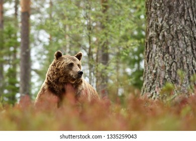 male brown bear in the autumn forest