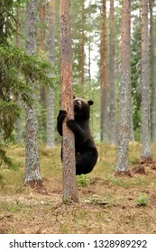 Male brown bear climbing on tree in summer forest