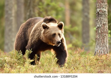 male brown bear in forest landscape