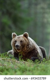 Male brown bear lying in forest. Bear resting.