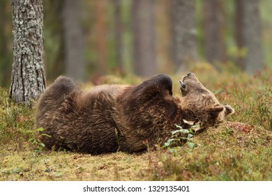 male brown bear lying on his back in the summer forest