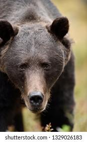 Male brown bear portrait. Bear approaching.