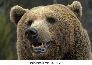 male brown bear portrait of head