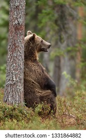 male brown bear sitting against a tree in forest at summer