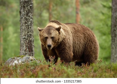 Male brown bear staring in forest. Brown bear looking at you in forest.