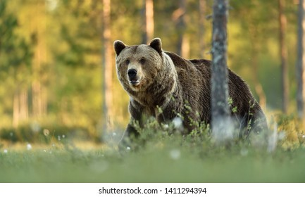 Male brown bear in summer forest background. Bear with forest background.
