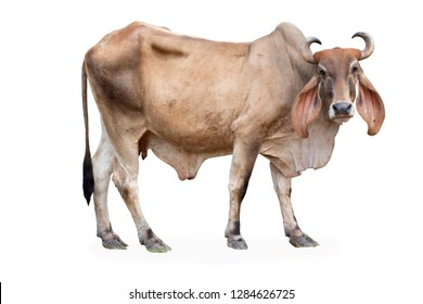 male brown cow isolated on white background