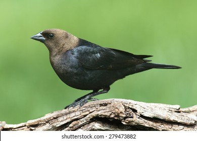 Male Brown-headed Cowbird (Molothrus ater) on a perch with a green background