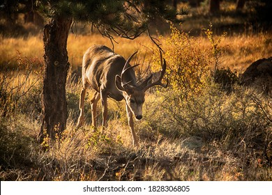 Male buck Mule Deer at Rocky Mountain National Park