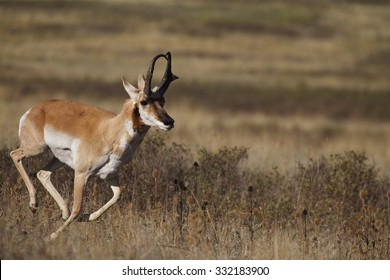 A male (buck) Pronghorn Antelope, Antilocapra americana, the fastest mammal in North America, runs at high speed across the Great Plains