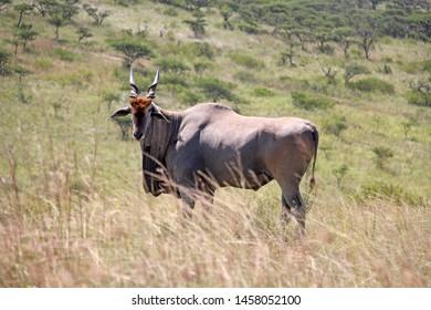 Male Bull Eland in savannah grassland