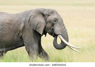 Male Bull Elephant with Big Tusks
