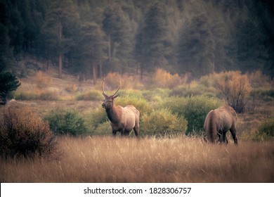 Male bull elk grazing at Moraine Park in Rocky Mountain National Park at dusk
