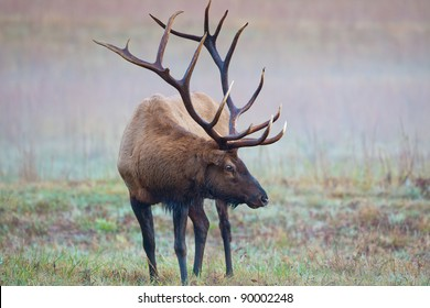 Male bull elk shows huge antlers on misty morning
