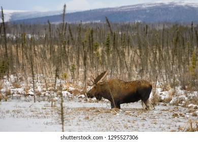 Male bull moose with antlers wading in frozen pond along the Dalton Highway Alaska