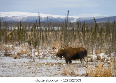 Male bull moose with palmate antlers wading in frozen pond along the Dalton Highway Alaska