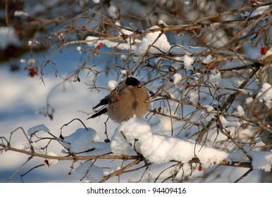 A male of bullfinch resting on a branch, in a winter scene
