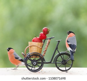 male bullfinch with Strawberry and a cycle
