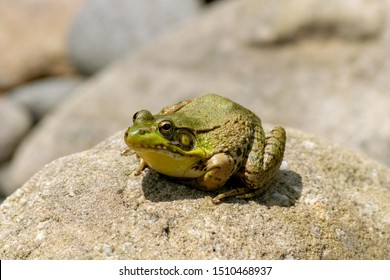 Male bullfrog sitting on a large stone warms up on a sunny spring day in Pennsylvania