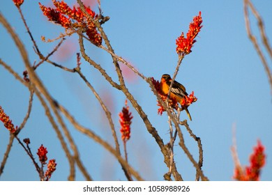 Male Bullock's Oriole perches at dawn in a flowering Ocotillo at Organ Pipe Cactus National Monument in southern Arizona's Sonoran Desert