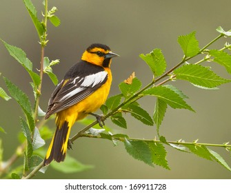 A male bullock's oriole shows off his dorsal black and white plumage as he perches in a small sapling