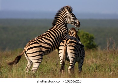 A male Burchell zebra mounting and wanting to mate with a female in Addo elephant national park,eastern cape,south africa