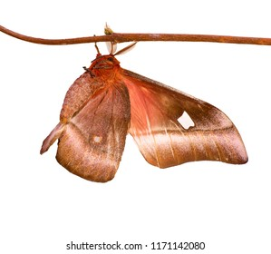 A male cabbage tree emperor moth, Bunaea alcinoe, is isolated on white background. The big brown moth with feather-like antennae is hanging on a twig like a butterfly.