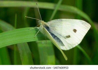 Male Cabbage White Butterfly perched on a branch. Taylor Creek Park, Toronto, Ontario, Canada.