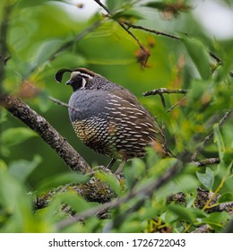 Male California quail resting on a tree branch