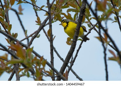 Male Canada Warbler perched on a branch. Ashbridges Bay Parh, Toronto, Ontario, Canada.