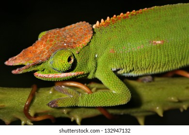 Male Canopy or Will's Chameleon (Furcifer willsii) on a branch in the wilds of Madagascar (Rain Forest of Ranomafana). Incredible vibrant colors at night after awakening. Foliage, tree.