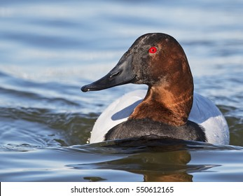 Male Canvasback Duck